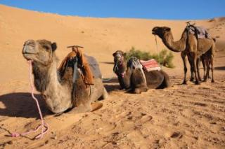 Camels waiting on dune